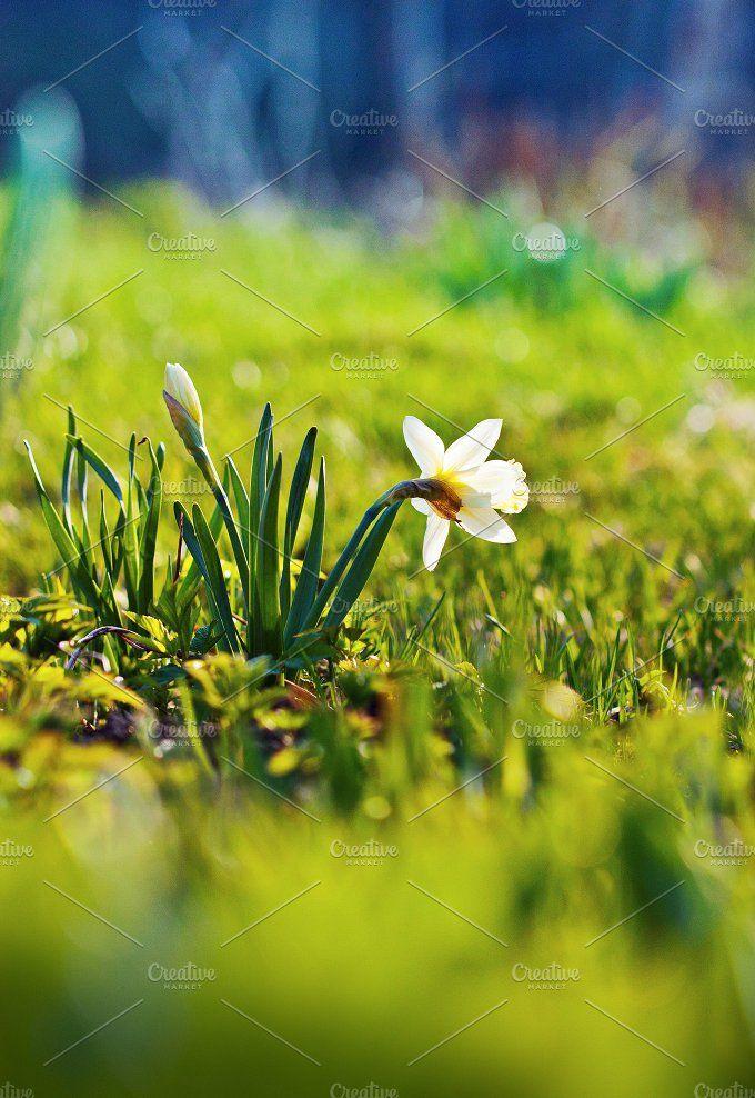 Daffodil flowers in the field by Oksana Ariskina on @creativemarket