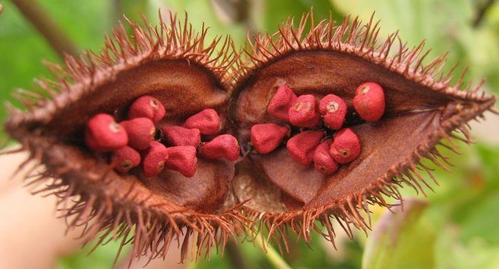<p>La planta amazónica Urucum (bixa Orellana) mantiene la belleza de la piel ayudandándole a conseguir un bronceado rápido, saludable y homogéneo. Previene la formación de manchas, arrugas y mantiene la piel hidratada.</p>
