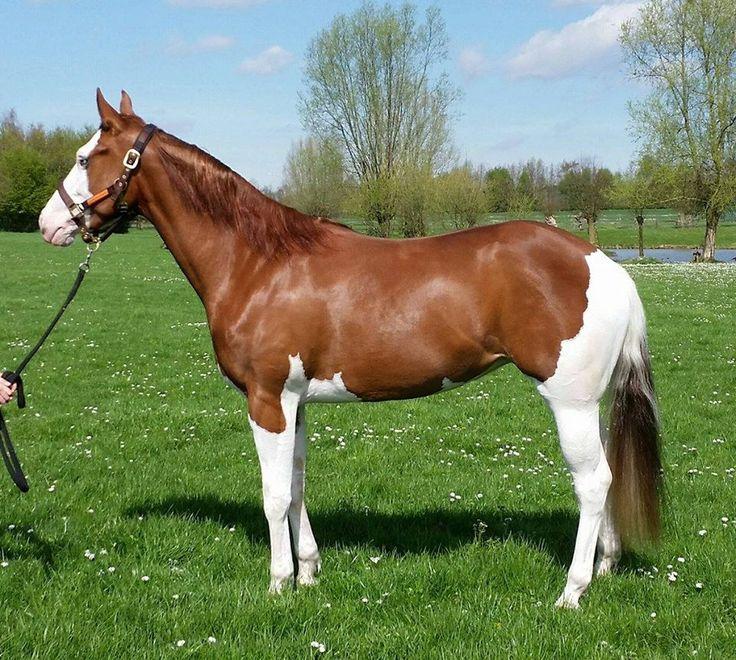 683 Best Paint Horses Images On Pinterest