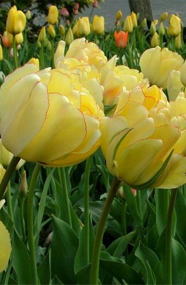 Tulip 'Akebona' ~ semi-double tulip by John Scheepers