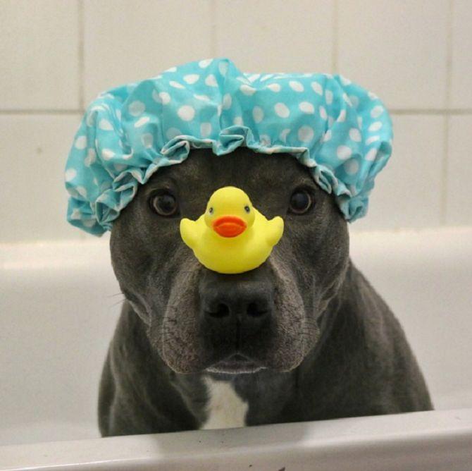 Ramsey is a Blue Staffordshire Bull Terrier, known as @ bluestaffy on Instagram