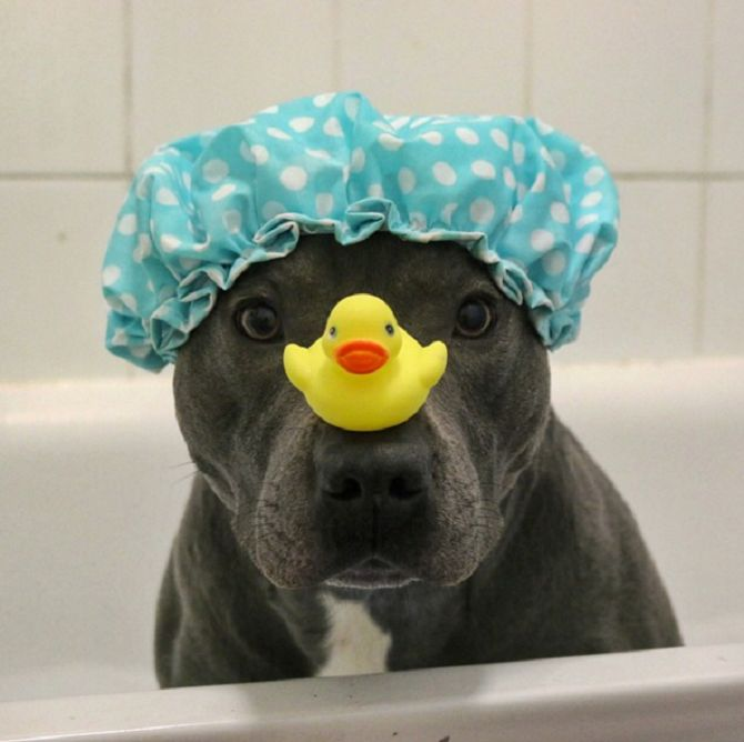 Ramsey is a Blue Staffordshire Bull Terrier, known as @ bluestaffy on Instagram
