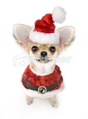 #Chihuahua in Santa Hat #Postcard