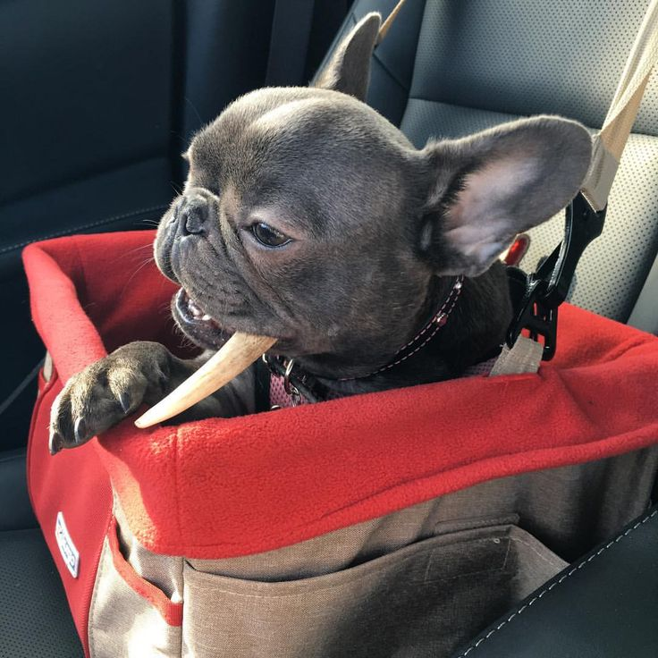 Best French Bulldog Images On Pinterest French Bulldogs - Ivette ivens baby bulldog