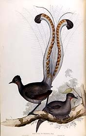 Lyre Birds. (I'm actually planning a side piece based on lyre birds. Aren't they beautiful?!)