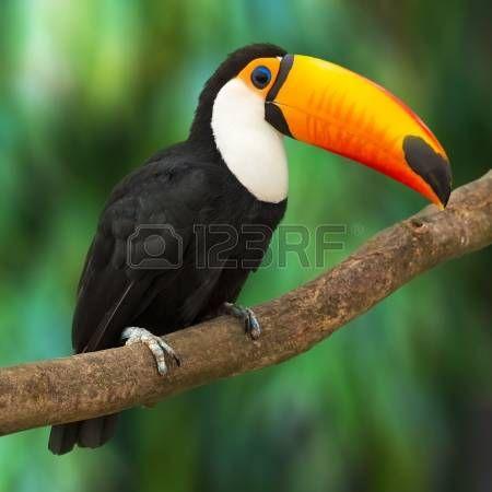 Toucan Ramphastos Toco seduto sul ramo di un albero nella foresta tropicale o giungla photo