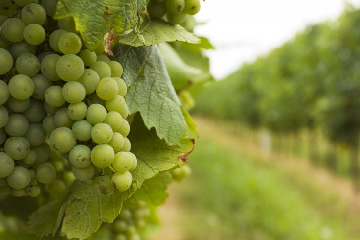 Chardonnay #wine #franciacorta