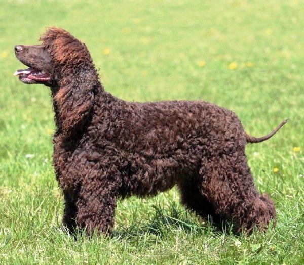 6 Allergiker Hunde Rassen Fur Tierlieber Mit Schnupfen Hunde Rassen Hunde Und Hunderassen Liste