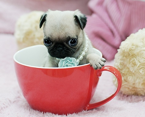 Cute Pug Puppy | Puggy world! | Pinterest | Tea parties ...