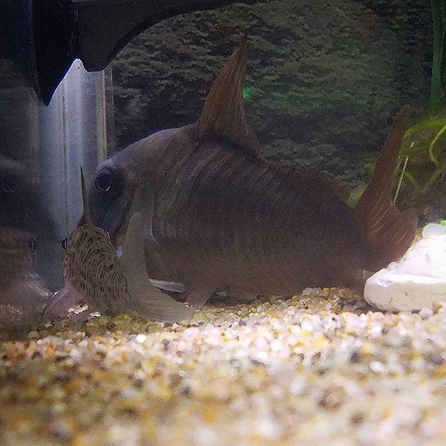 【enjoy_aqua】さんのInstagramをピンしています。 《おーい( ^o^)ノ そんな隅っこ居ないでこっち来いよ~🙌 コンコロールジャンボくんとロレトエンシスくん  ロレトが小さく見える😂 #コリドラスコンコロール #コリドラスロレトエンシス #コリドラス #corydoras #熱帯魚 #淡水魚 #アクアリウム #熱帯魚水槽 #aquarium #fishtank #fishcommunity #tropicalfish》