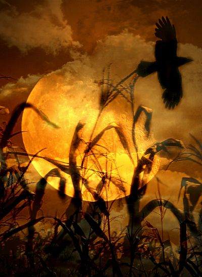 The Raven Amongst The Wheat ~ Photo by...?