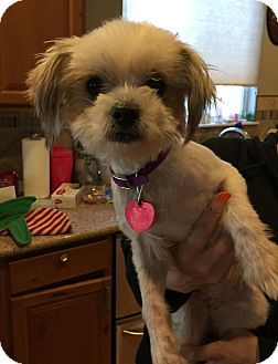 Fort Collins, CO - Yorkie, Yorkshire Terrier/Maltese Mix. Meet Pixie (DENVER), a dog for adoption. http://www.adoptapet.com/pet/16997164-fort-collins-colorado-yorkie-yorkshire-terrier-mix