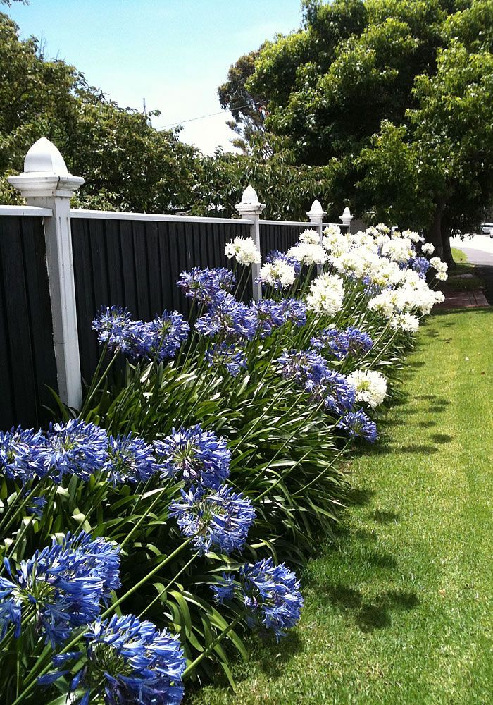 Blue & White Agapanthus: it must be Christmas! — Glamour Drops