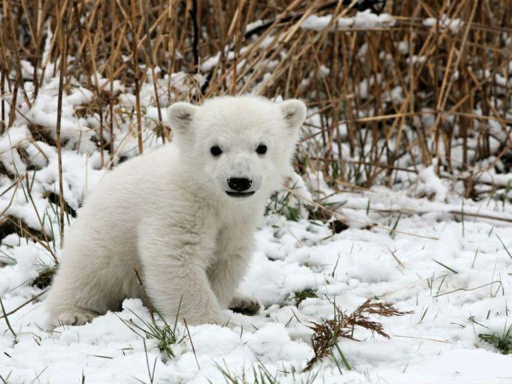 También llamado oso blanco, es el nombre común que recibe la especie de oso que habita en el hielo ártico y en las bahías de Hudson y James, en Canadá, así como en la costa este de Groenlandia. Tiene un cuerpo más alargado y estilizado que el resto de los osos debido a sus costumbres acuáticas pero, al igual que las otras especies, su marcha es plantígrada, y en las zarpas tienen cinco garras afiladas y curvadas que utilizan para agarrarse al hielo y atrapar a sus presas.