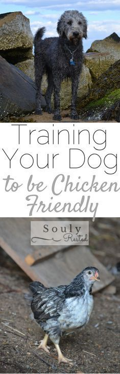 Some days homesteading is oh-so-hard. If you're trying to train a dog to be off leash around free-ranging chicken or ducks, you may feel you're facing an insurmountable challenge.  I ca…