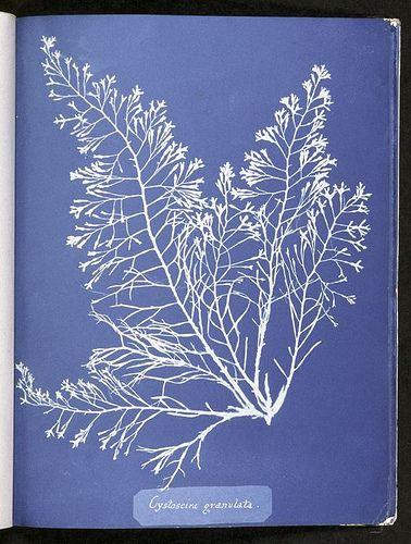 Cystoseira granulata. by New York Public Library, via Flickr anna Atkins