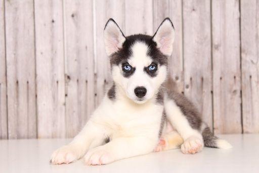 Siberian Husky puppy for sale in MOUNT VERNON, OH. ADN-52099 on PuppyFinder.com Gender: Female. Age: 8 Weeks Old
