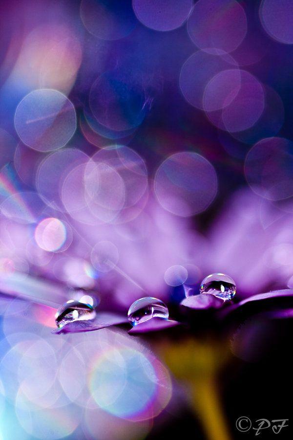 purple . water droplets on flower ✿