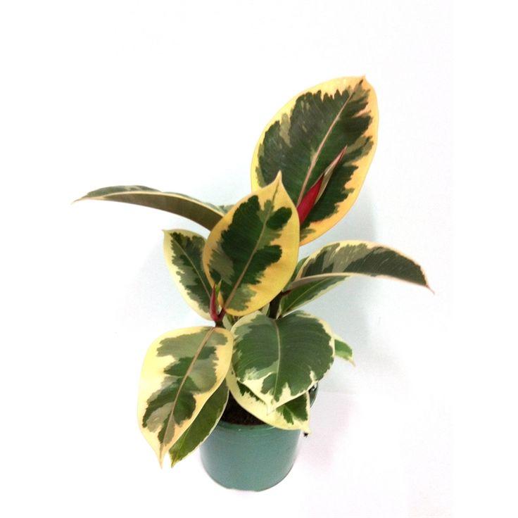 "130mm Ficus Elastica Varigata Rubber Plant ""Sylvie"" I/N 3610585 | Bunnings Warehouse"