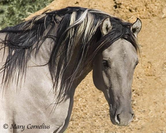 Blue Dun (Kiger Mustang)