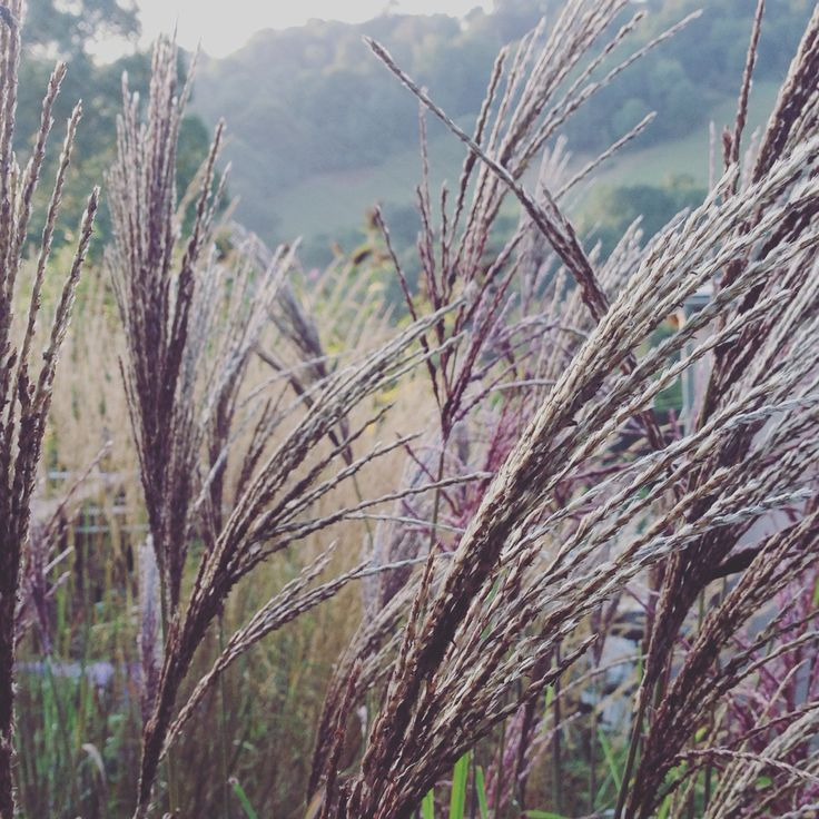 449 best images about gramineus on pinterest gardens for Grasses planting scheme