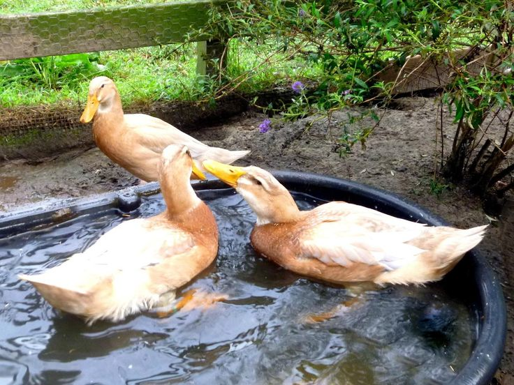 how to care for call ducks