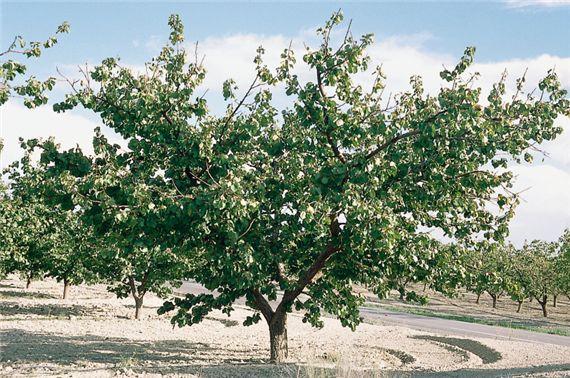 Gyümölcstermesztési alapismeretek | Digitális Tankönyvtár