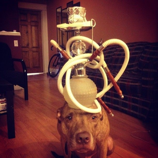 Is that a hookah? This Dog Can Balance Anything On His Head: even a pug puppy!