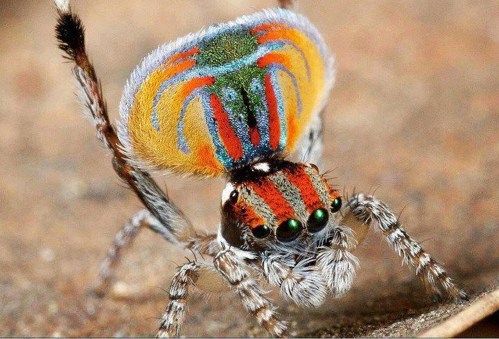 Colourful spider!: God Creations, Color Spiders, Beautiful Spiders, Peacocks Spiders, Bugs Life, Amazing Creations, Animal Inspiration, Beautiful God, Beautiful Creatures