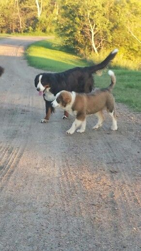 Venus... Bernese Mountain Dog with Phoenix.. Great Bernese puppy Great Pyrenees/Bernese cross!