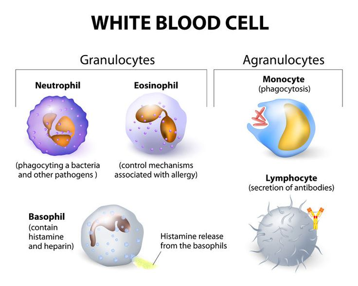 Labelled Diagram Of White Blood Cells
