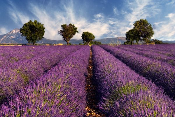 Lavender Fields in the French Countryside.