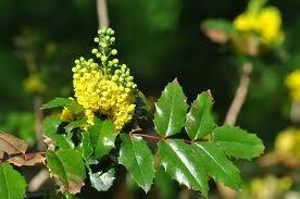Mahonia aquifolium -