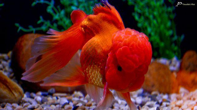 oranda goldfish | Oranda goldfish | Flickr - Photo Sharing!