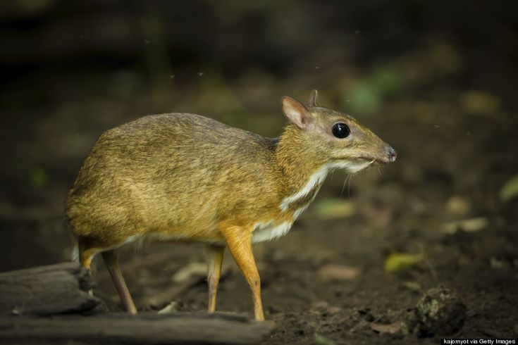 This Philippine Mouse-Deer: Because it's cute (creepy?), it looks exactly like its name sounds, and they're prancing adorably around the Philippine forests.