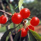 Willis Orchard Company   Dwarf Fruit Trees For Sale   Buy Dwarf & Miniature Fruit Trees