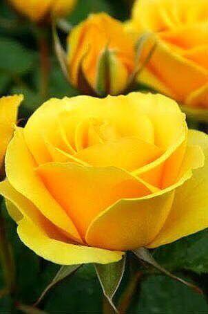 Hermosa rosa amarilla | Beautiful yellow rose - #flores #flowers