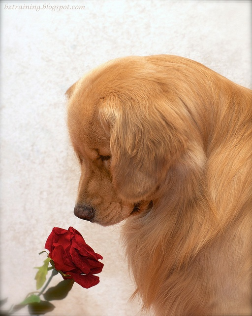 shopping list: Rose, Dog Lovin, Golden Retrievers