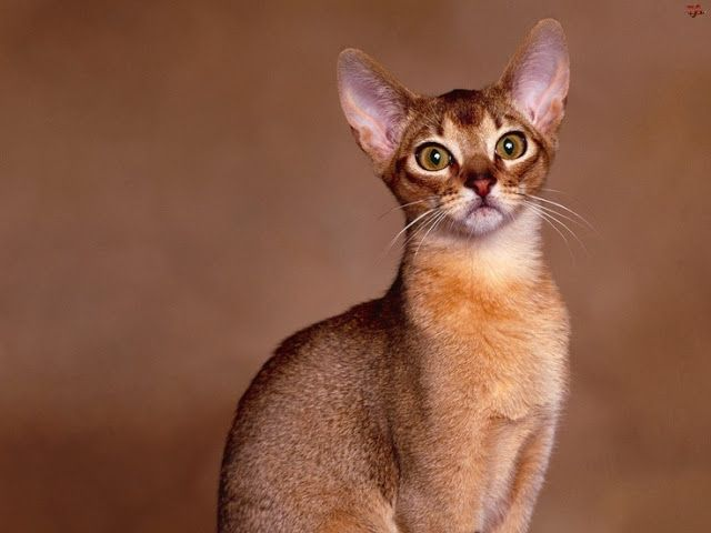 Abyssinian Cat History.Click the picture to read