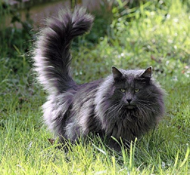 Blue Smoke Norwegian Forest Cat (Zoe Fans Blog)