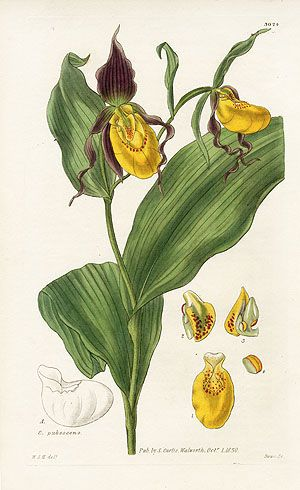 Charles Curtis botanical watercolour: orchids