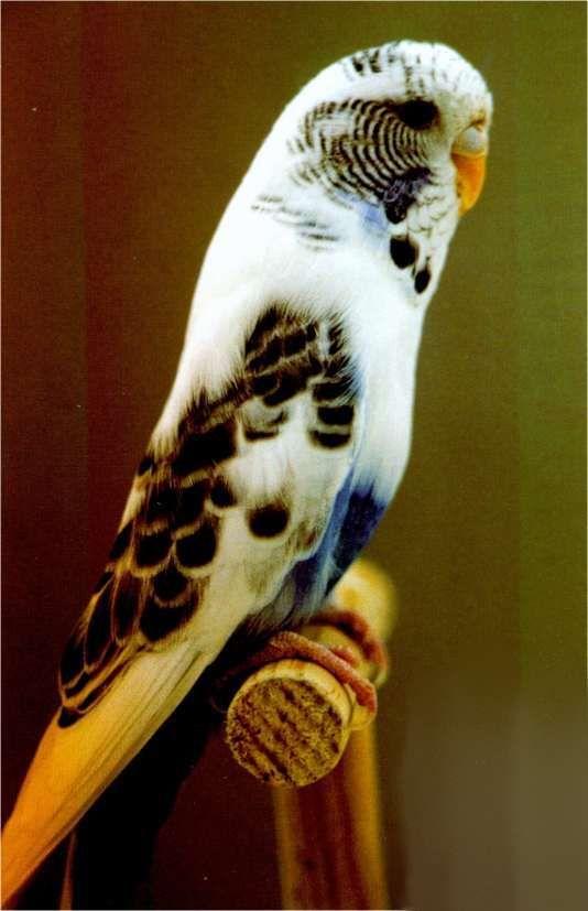 Oiseaux Exotiques... Perruches ondulèes