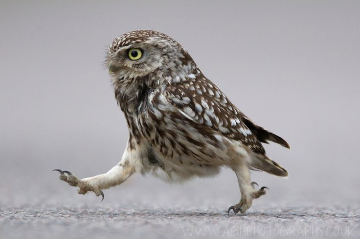 that looks like one pissed off little owl