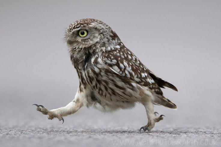 Little Owl by Tony House