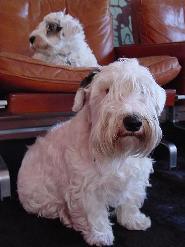 sealyham terrier.i have to have a couple of these!