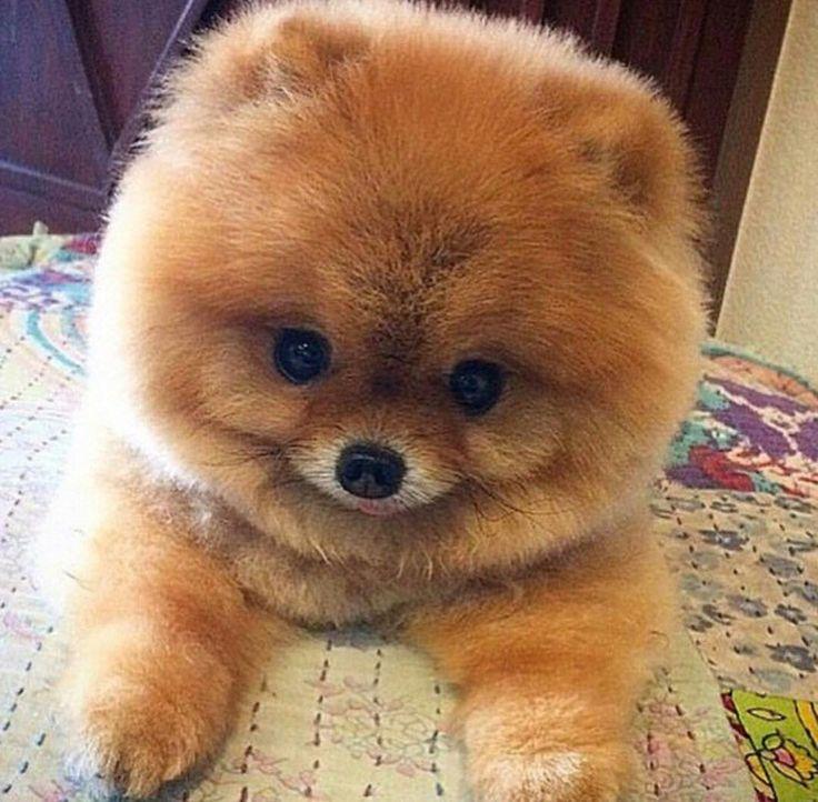best 25 teddy bear pomeranian ideas on pinterest