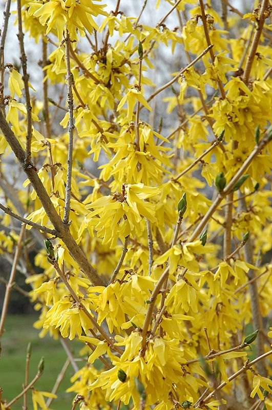 Click to view full-size photo of Northern Gold Forsythia (Forsythia 'Northern Gold') at Stein Gardens & Gifts