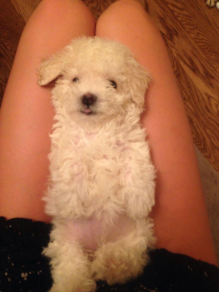 Teacup malitpoo Maltese poodle baby puppies