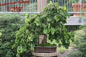 Corkscrew Filbert (AKA Corkscrew Hazel Tree, Contorted Filbert, Harry Lauder's Walking Stick)