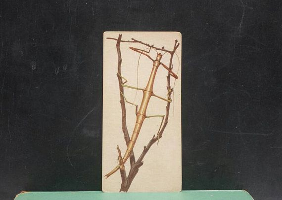 Vintage Insect Giant Walking Stick Flash Card Color